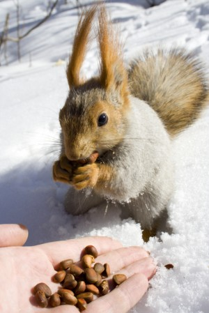 squirrel  on the snow gnawing nuts of siberian pine